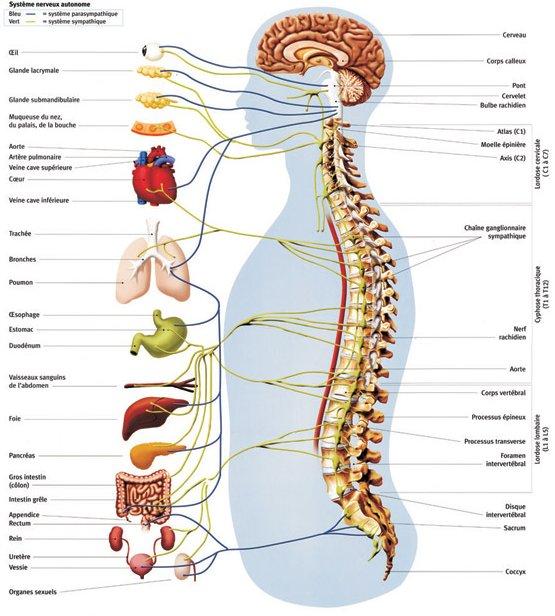 Autonomous nervous system